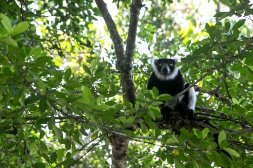 Madagascar les lémuriens soufflent le tourisme et la forêt souffrent 2 victimes collatérales